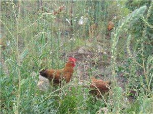 出售果园原生态散养土鸡,
