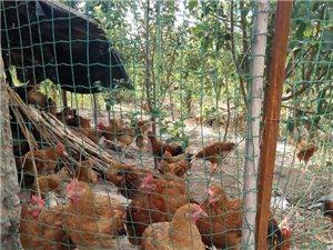 出售果园散养原生态土鸡