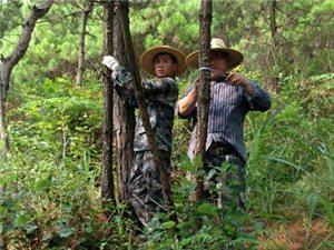 """麻江县开展""""十三五""""期间森林采伐限额外?#26723;?#26597;工作"""