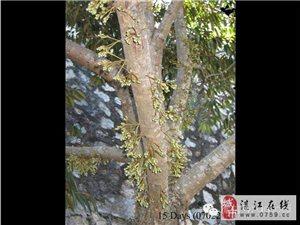 榴莲是怎么生长的,你见过吗?