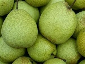 摘梨喽,新鲜的大甜梨!