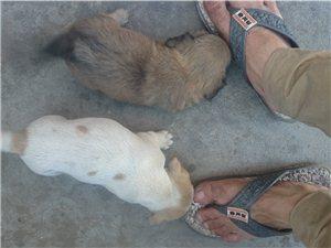 有两只小狗,看上了就抱走吧