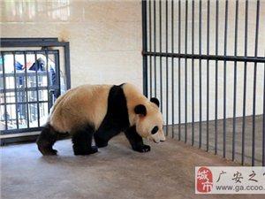 """最新大熊猫,""""阳花""""与""""云涛""""生活照爆料,大家快来围观啦!"""