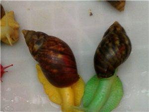 变异的蜗牛