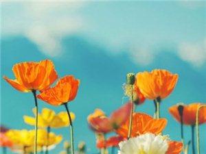 �粟花海,世界上最美最毒的花……�Ф镜拿利�!(�D)