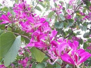 出售十年以上�潺g�钤��t丹桂和十五年以上�潺g紫�G花各一株