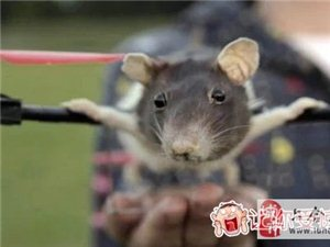 宠物鼠去世悲痛的小主人把它做成遥控直升机