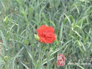 花的海洋 ――游盘县板桥镇花卉基地有感