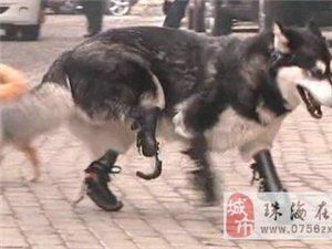 小狗四肢被截�啵��b假肢�刀�h�鹗�