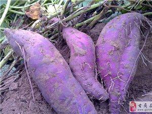泸县紫薯生产基地
