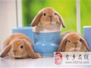 出售的垂耳兔
