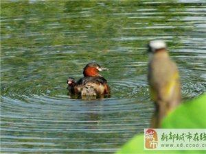 新都生�B文明信使 新桂湖野生水禽