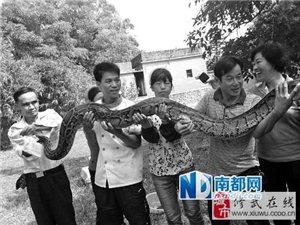 近3米长巨蟒欲吃羊被4名男子擒住