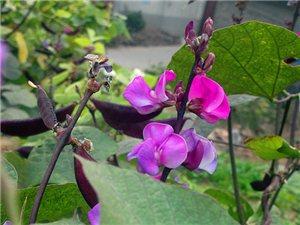 扁豆开花了