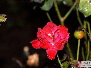 秋天红月季
