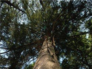 铁杉林:生于绿洲的精灵
