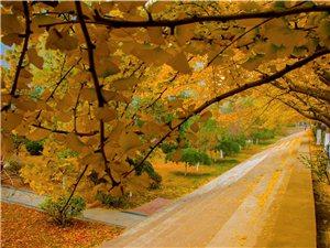 校园随拍       -金色秋天