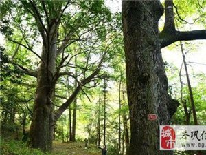 我�h客�青l�F�汕�年�潺g��洲最大�t豆杉