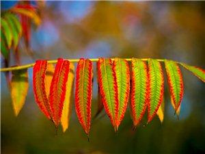 秋日的颜色,红叶椿。