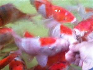 九春锦鲤,喝奶的鱼!