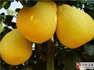 泸州纳溪护国柚子采购旅游活动