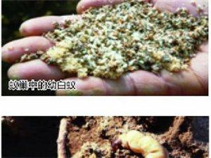 合肥挖出白蚁王国超50斤重 30岁蚁后巢穴似宫殿