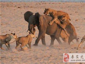 非洲大象独战14只饥饿猛狮