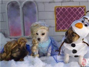 狗狗扮演迪士尼电影角色:威严海盗