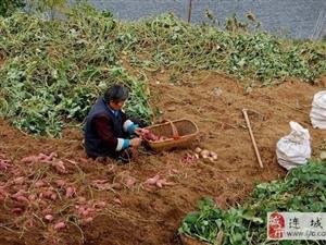 """连城北团地瓜""""不值钱""""?  薯农苦笑""""伤不起"""""""
