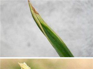 【兰花鉴赏】详解水晶艺