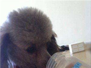 �ふ�G失的灰色�F�e犬