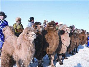 额济纳旗举办第六届骆驼文化节