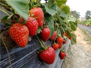 湛江摘草莓攻略,又到一年草莓季,摘草莓走起
