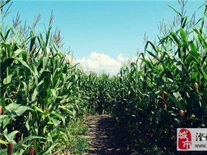 玉米田里的故事