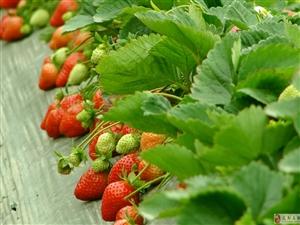 冬日一点红,相约宝桑摘有机草莓