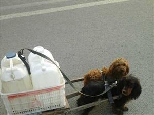 这主人也太懒了吧 两只小狗帮着运水