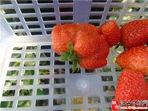 元旦在�P林�本味�@家庭�r�觥�―摘草莓