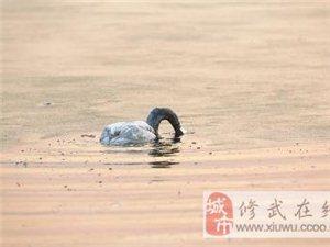 三门峡湿地大天鹅身亡 小天鹅追随亡母撞冰离世