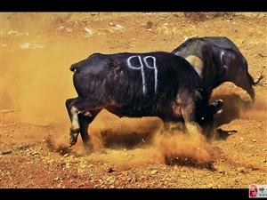 金沙网站的斗牛,现场惨烈-精彩图集