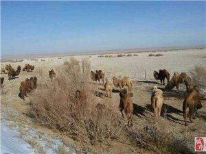 冬季瓜州的骆驼