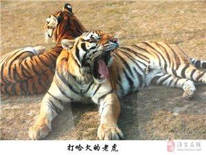 老虎三��