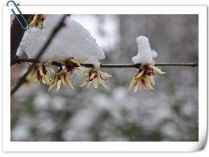 2015年阜阳的第一场雪 我家的腊梅花开了