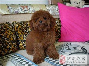 泰迪狗狗找新家过年
