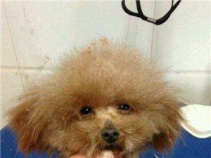 去宠物店给狗狗修了修毛,总算能看了~