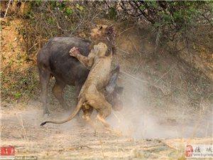 震撼画面:彪悍水牛奇迹将狮子杀死