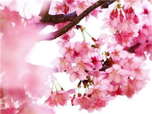 樱花缤纷的季节