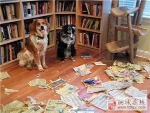 为什么狗狗独自在家时总喜欢搞破坏?