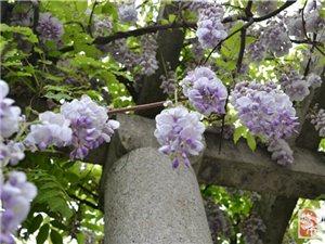 紫藤:邂逅金沙网站最美的春天!