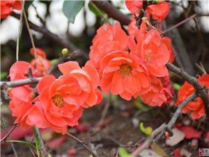 随拍:漂亮的海棠花,可爱的猫咪。