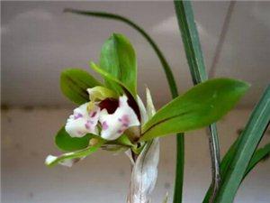 【兰花种植】蕙花的花期管理技巧